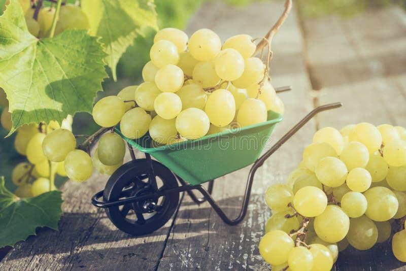 Pequeña carretilla del jardín por completo de uvas en el tablero de madera en jardín al aire libre foto de archivo