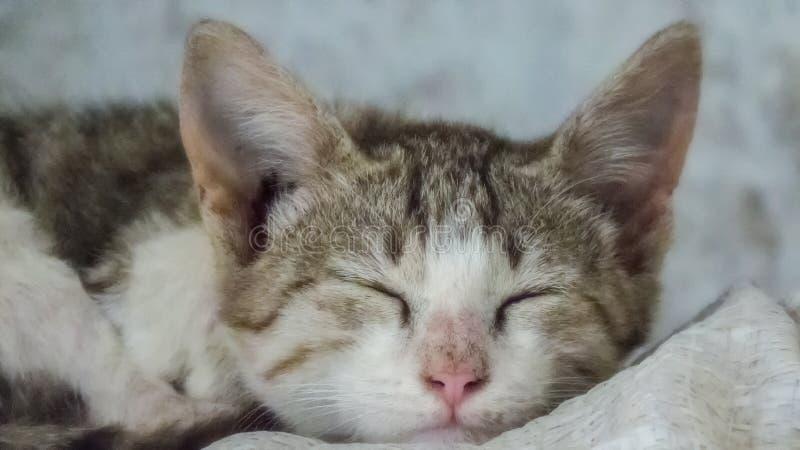 Pequeña Cat Kitten Sleeping linda fotos de archivo