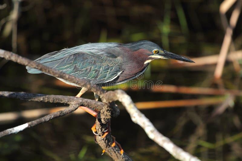 Pequeña caza verde de la garza en los marismas de la Florida fotografía de archivo