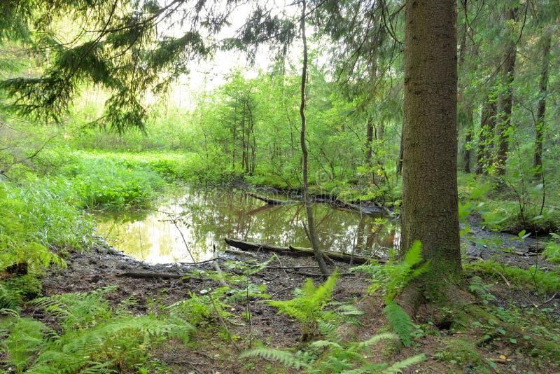 Pequeña charca del bosque en el verano fotos de archivo