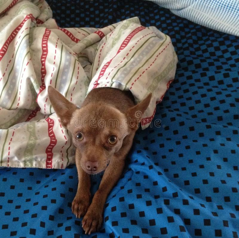 Pequeña chihuahua linda de Brown debajo de una manta fotografía de archivo libre de regalías