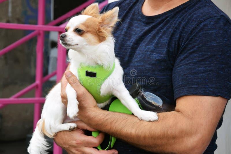 Peque?a chihuahua linda del perro en las manos de los due?os imagenes de archivo
