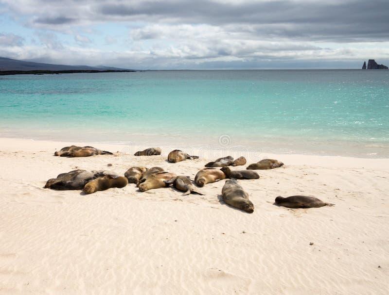 Pequeña cría de foca entre otros en la playa fotos de archivo