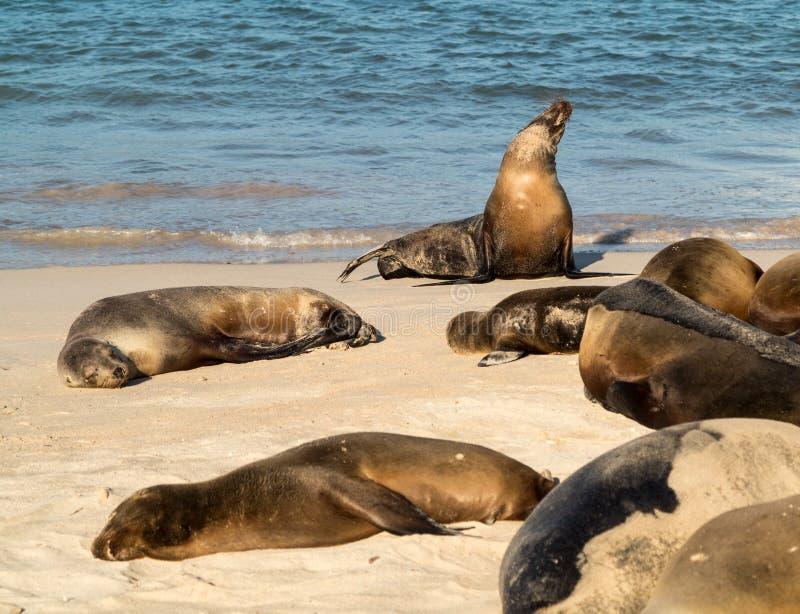 Pequeña cría de foca entre otros en la playa imagen de archivo libre de regalías