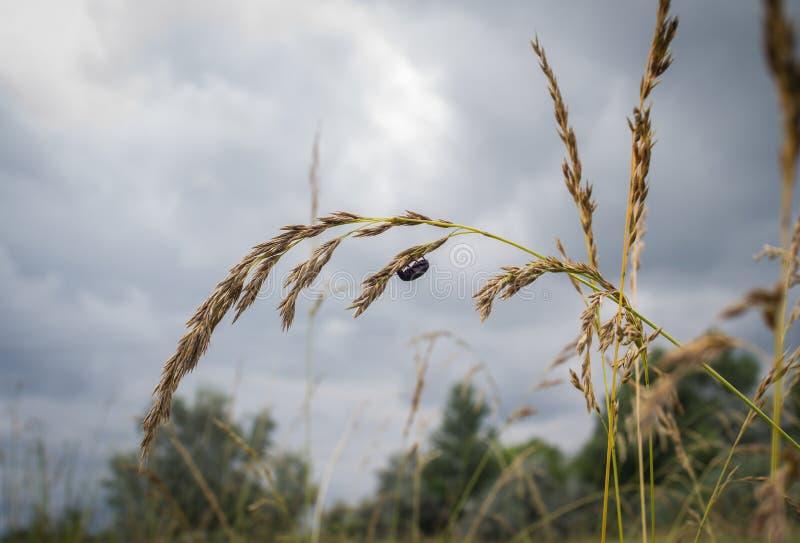 Pequeña ejecución negra del insecto en el oído de la avena foto de archivo libre de regalías