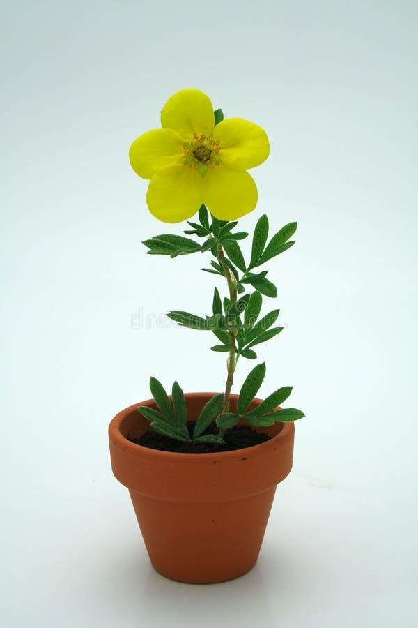 Download Pequeña flor amarilla foto de archivo. Imagen de amor - 1280476