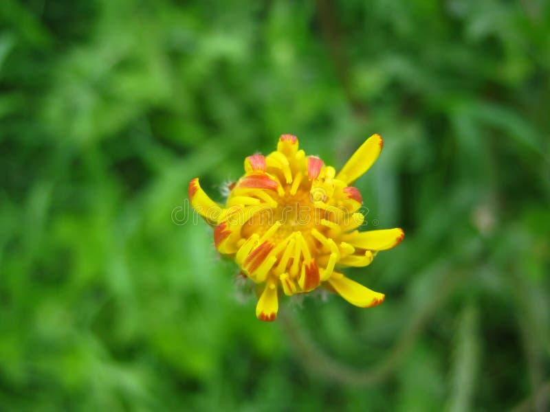 Pequeña flor amarilla fotos de archivo