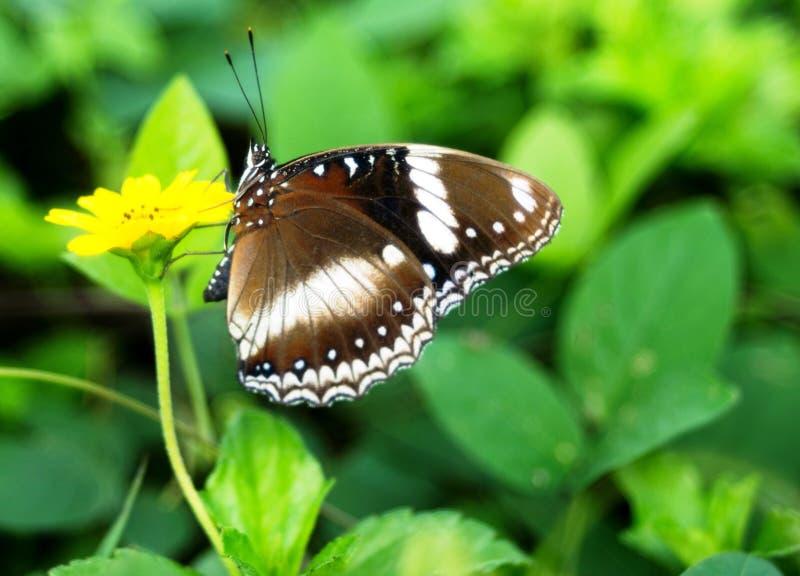 Pequeña flor amarilla de la mariposa marrón grande imagen de archivo