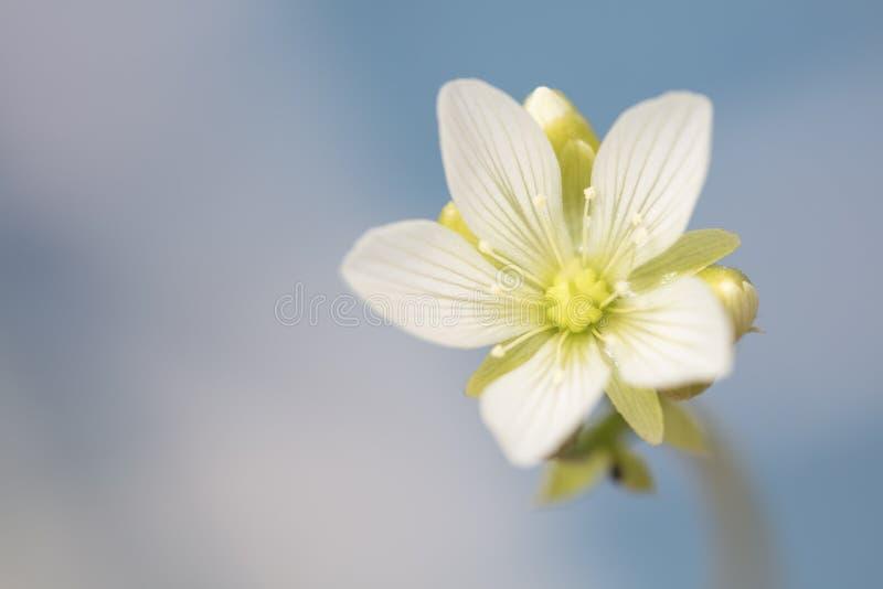 Pequeña flor blanca de la planta de Venus Flytrap fotografía de archivo