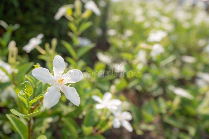 Pequeña flor blanca hermosa y linda en fondo borroso de los palnts imagen de archivo