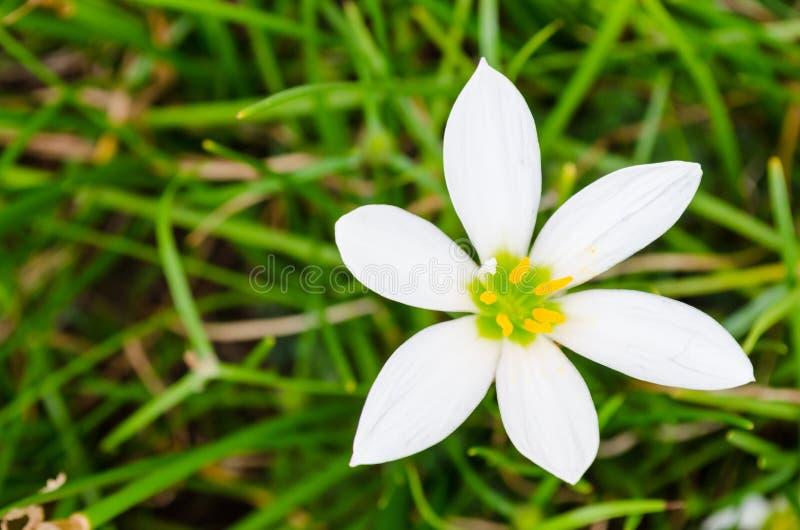 Pequeña flor de la margarita blanca con los pétalos destacados con el fondo verde y la visión superior fotografía de archivo