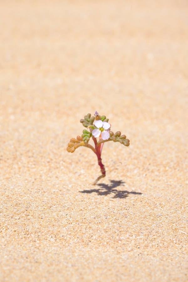 Pequeña flor en un desierto fotos de archivo libres de regalías