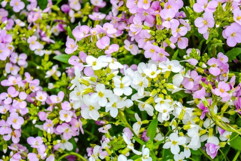 Pequeña flor floreciente del rosa y blanca del prado en el jardín fotos de archivo libres de regalías