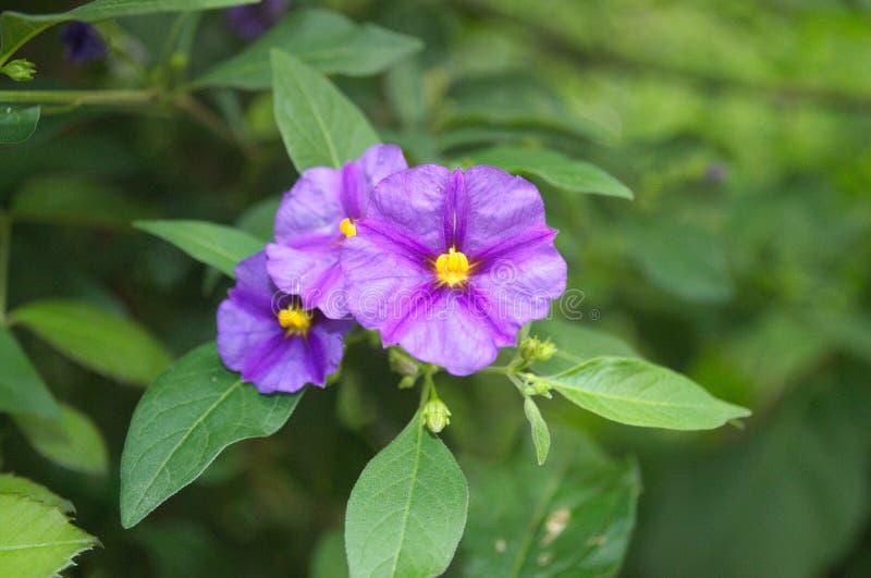 Pequeña flor púrpura hermosa con las hojas verdes jugosas fotografía de archivo