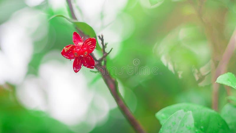 Pequeña flor roja en árbol con descenso del agua en fondo del verde Blurred imagen de archivo libre de regalías