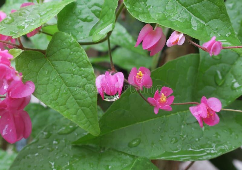Pequeña flor rosada después de la lluvia foto de archivo