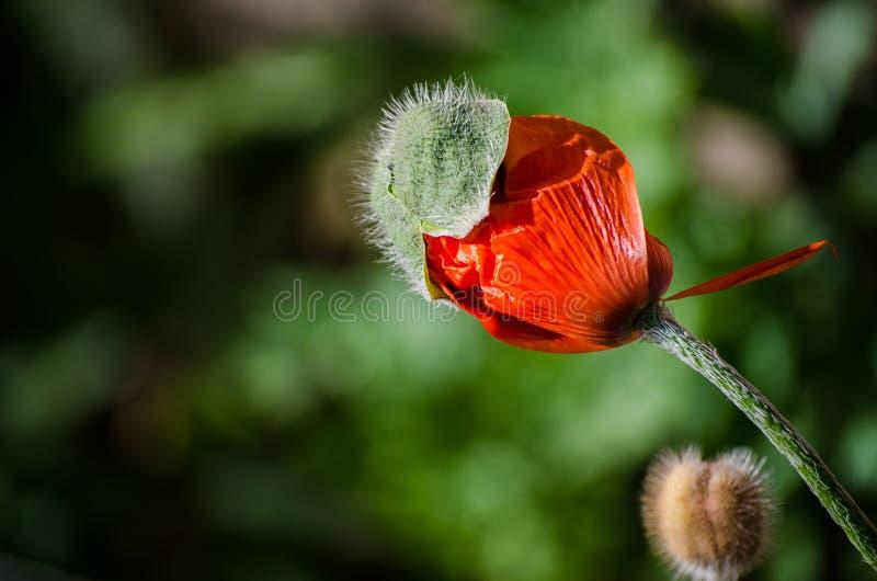 Pequeña flor salvaje anaranjada de la amapola en la floración Primer hermoso de los pétalos de la flor de la primavera en mayo imágenes de archivo libres de regalías