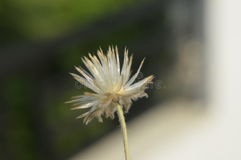 Pequeña flor secada imágenes de archivo libres de regalías
