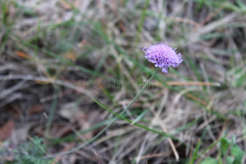 Pequeña flor violeta en Montseny, cerca de Barcelona imagen de archivo libre de regalías