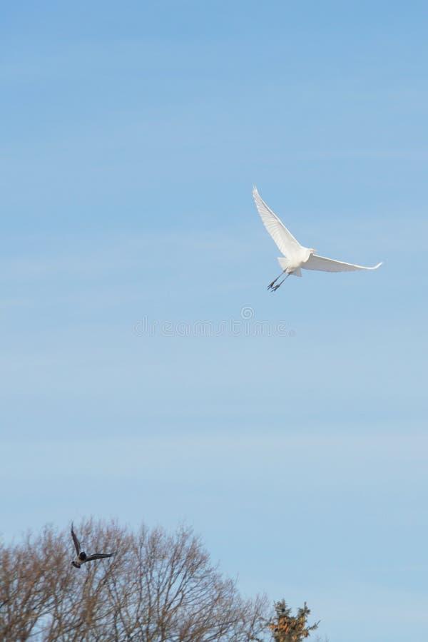 Pequeña garza blanca caucásica que vuela y un cuervo gris en el cielo adentro foto de archivo