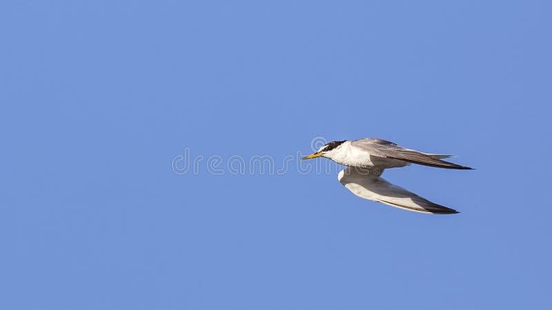 Pequeña golondrina de mar en vuelo imagen de archivo libre de regalías