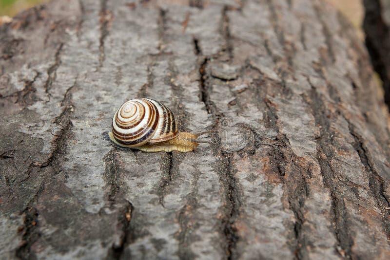 Pequeña hélice viva del caracol de Borgoña, caracol romano, caracol comestible, es imagen de archivo