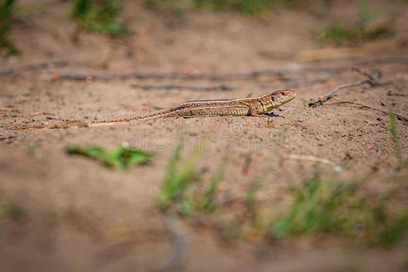 Pequeña lagartija de arena marrón y amarilla imagen de archivo