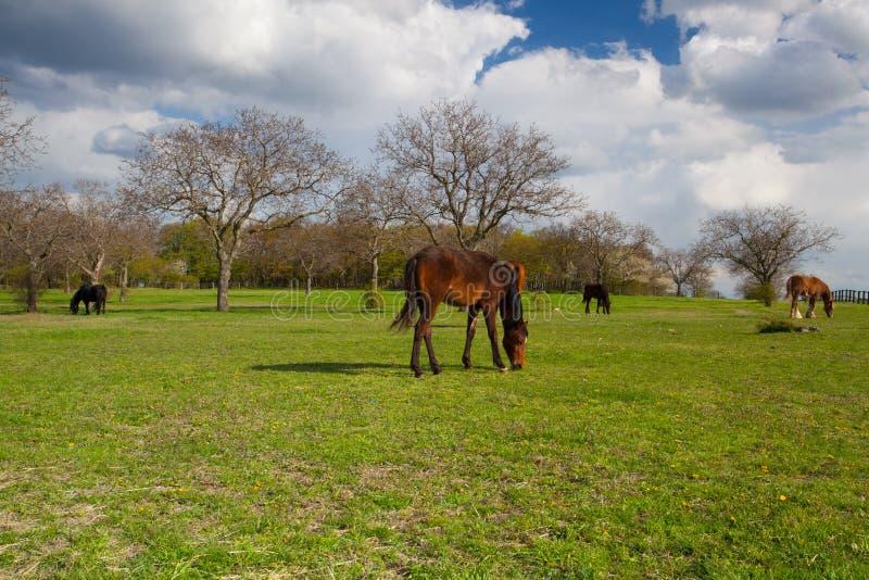 Pequeña manada de caballos en pasto de la primavera foto de archivo