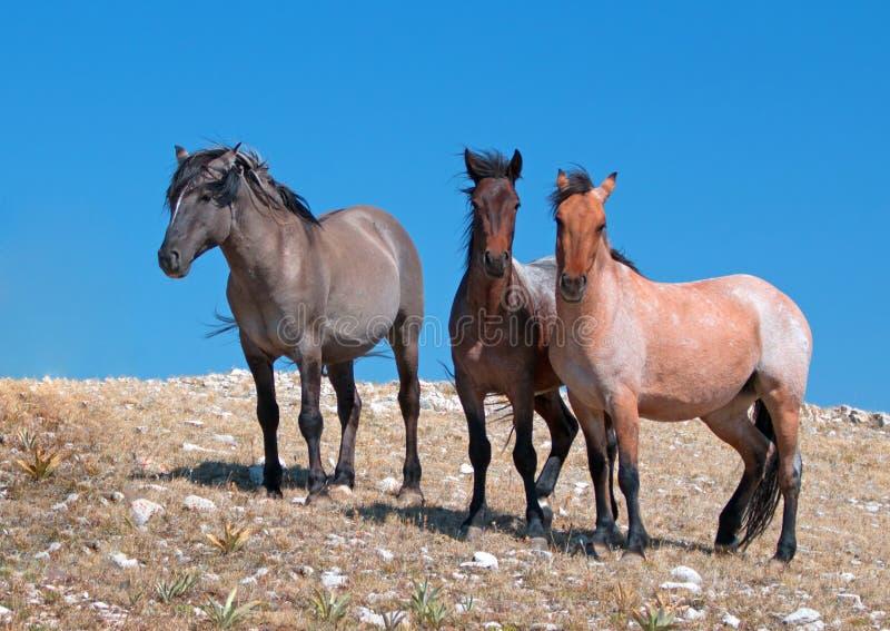 Pequeña manada de caballos salvajes en Sykes Ridge en la gama del caballo salvaje de las montañas de Pryor en Montana imágenes de archivo libres de regalías