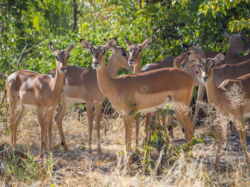 Pequeña manada de los antílopes femeninos del impala en el ambiente de la sabana del árbol que parece tranquilo y pacífico en Mor fotos de archivo