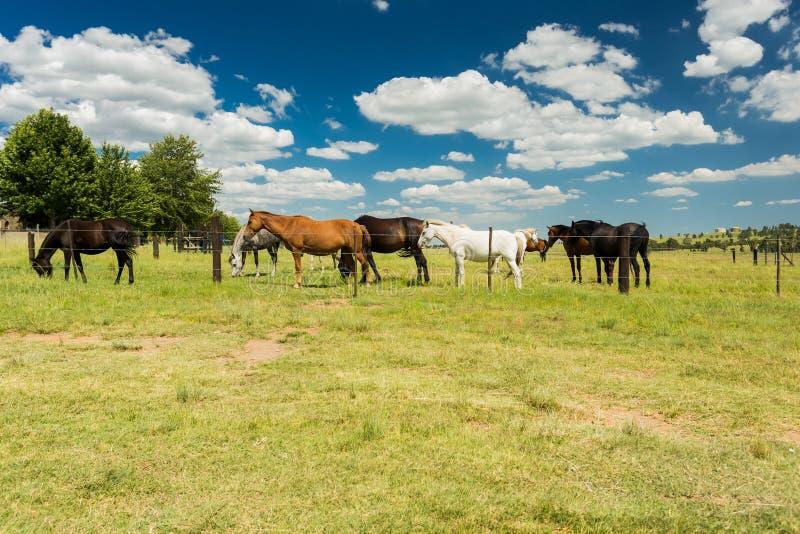 Pequeña manada de los caballos que pastan en un campo rural detrás de una cerca imágenes de archivo libres de regalías