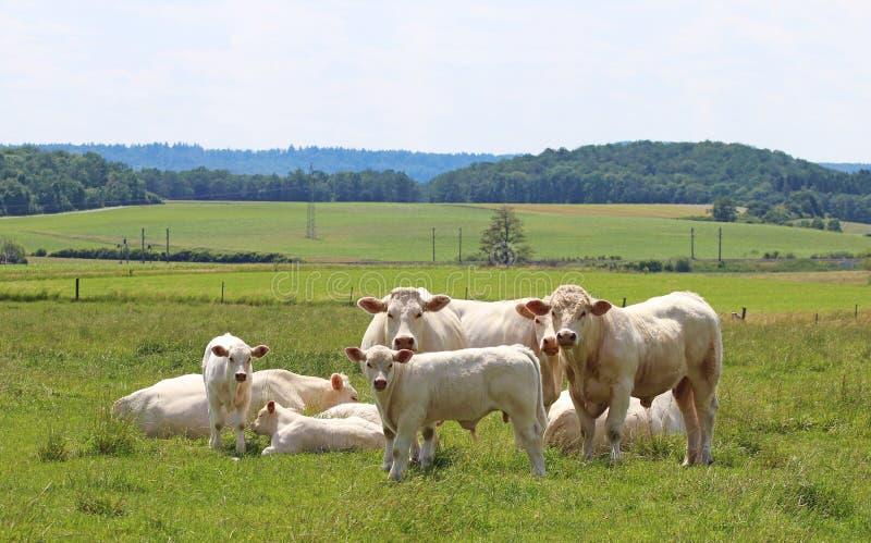 Pequeña manada del ganado de Charolais imagenes de archivo