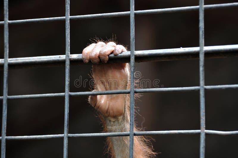Pequeña mano del chimpancé que lleva a cabo la libertad que espera de la jaula para foto de archivo