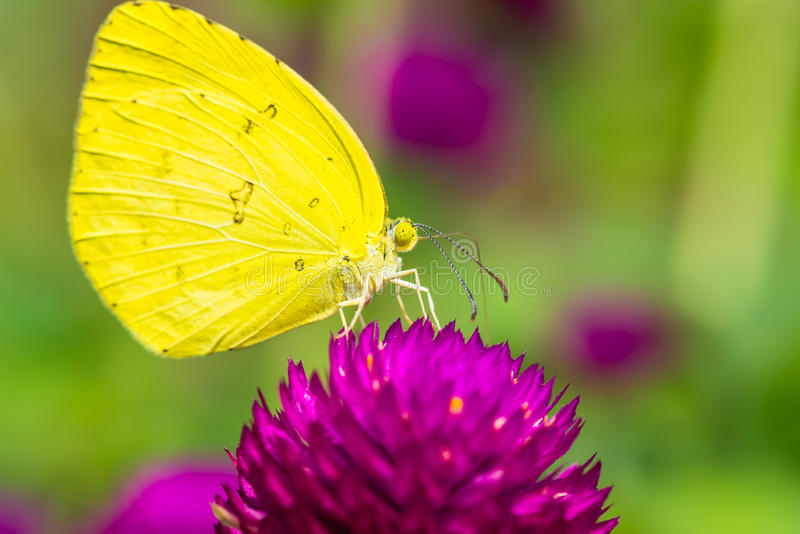 Pequeña mariposa amarilla en la flor púrpura imagen de archivo