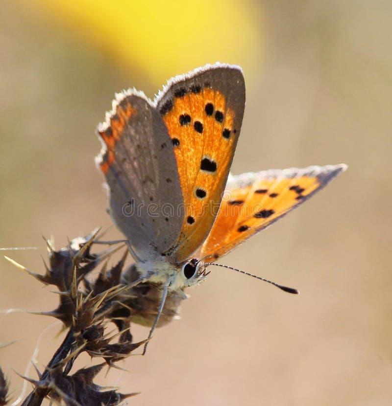 Pequeña mariposa de cobre foto de archivo libre de regalías