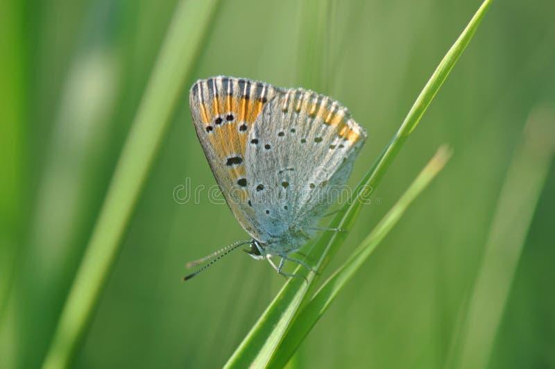 Pequeña mariposa de cobre en la hoja imagen de archivo