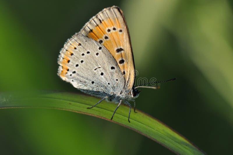 Pequeña mariposa de cobre en la hoja imágenes de archivo libres de regalías