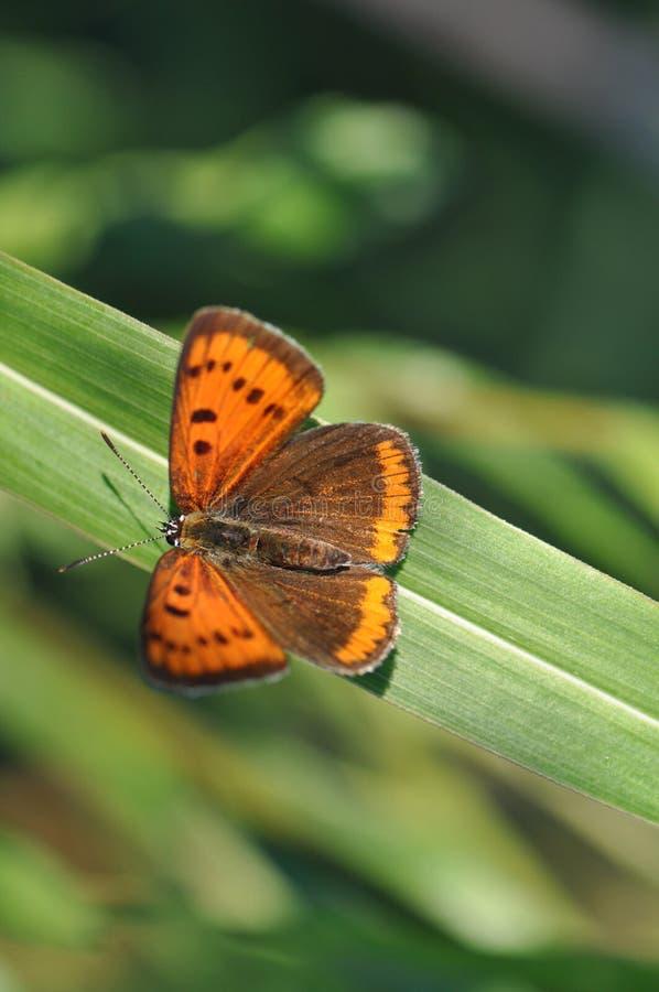 Pequeña mariposa de cobre en la hoja fotos de archivo