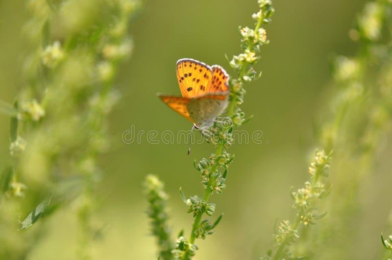 Pequeña mariposa de cobre en la hoja foto de archivo libre de regalías