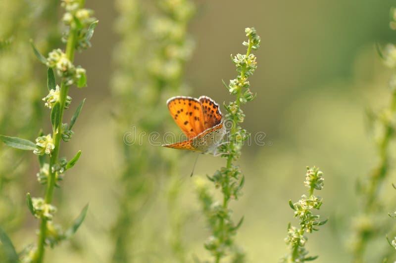 Pequeña mariposa de cobre en la hoja foto de archivo
