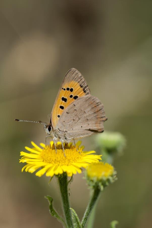 Pequeña mariposa de cobre, phlaeas del Lycaena imagen de archivo libre de regalías