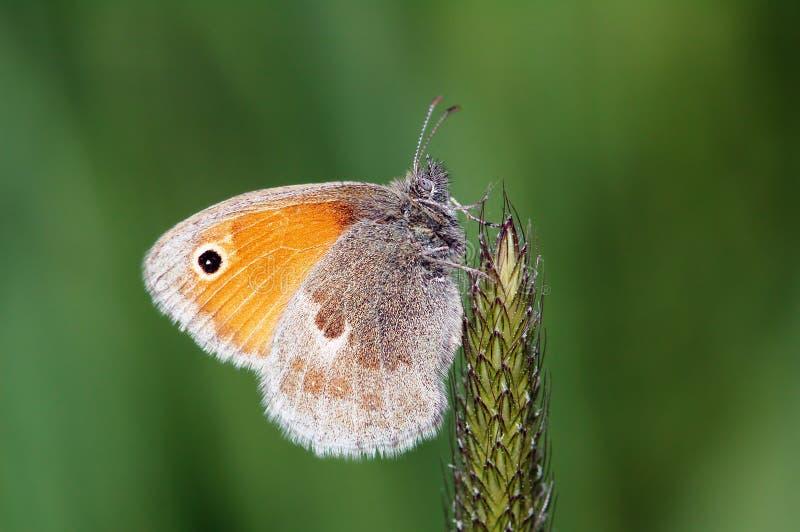 Pequeña mariposa de la mariposa del brezo en hierba foto de archivo libre de regalías