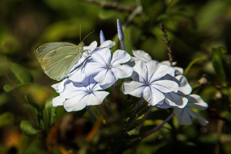Pequeña mariposa del blanco de col fotos de archivo