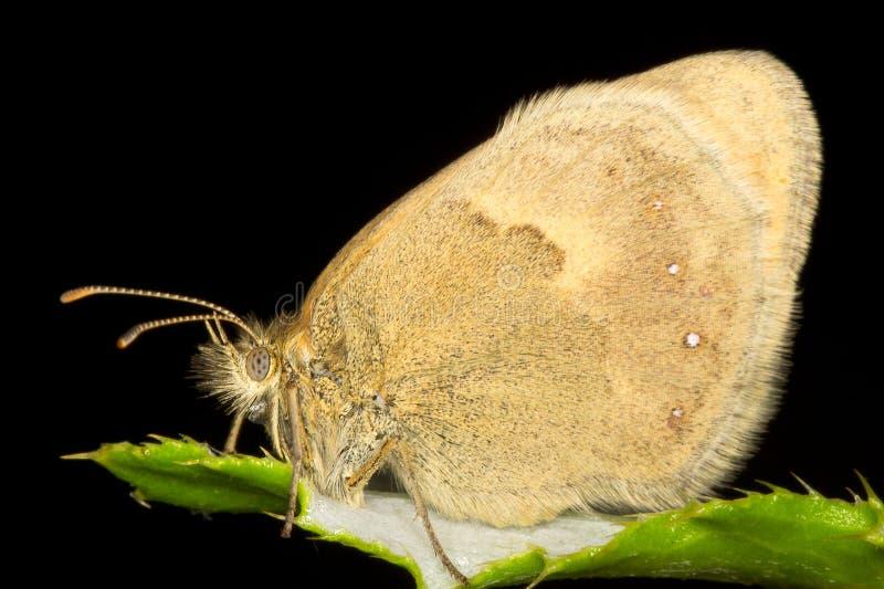 Pequeña mariposa del brezo fotografía de archivo