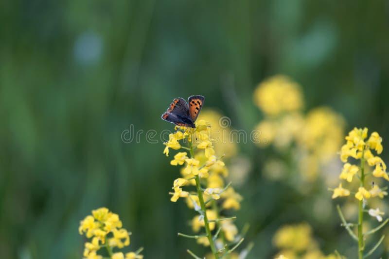 Peque?a mariposa del coper, phlaeas del Lycaena, en una flor amarilla imagen de archivo