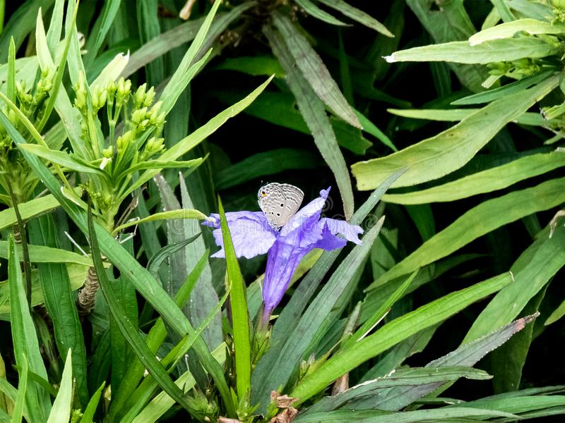 Pequeña mariposa llana del cupido en las plantas verdes fotos de archivo libres de regalías