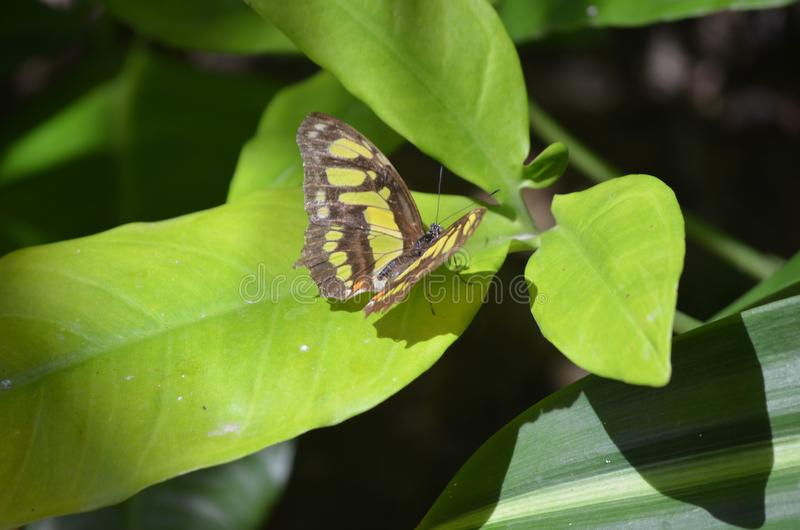 Pequeña mariposa negra y verde imponente de la malaquita imágenes de archivo libres de regalías