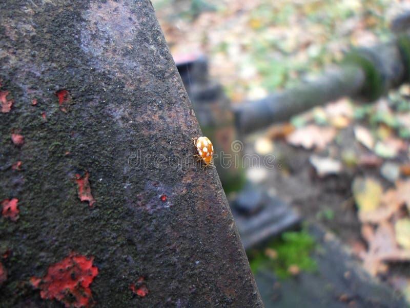 Pequeña mariquita preciosa en una superficie oxidada fotografía de archivo libre de regalías
