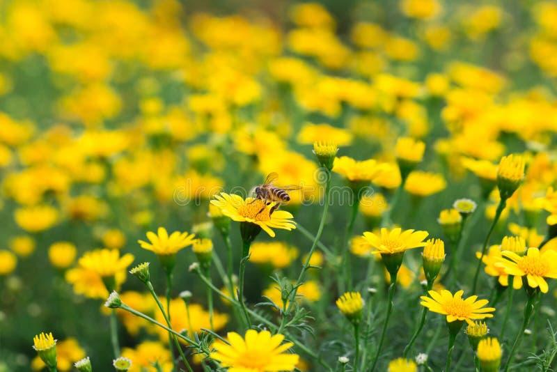 Pequeña mosca de abeja en el campo de la margarita amarilla hermosa fotos de archivo libres de regalías