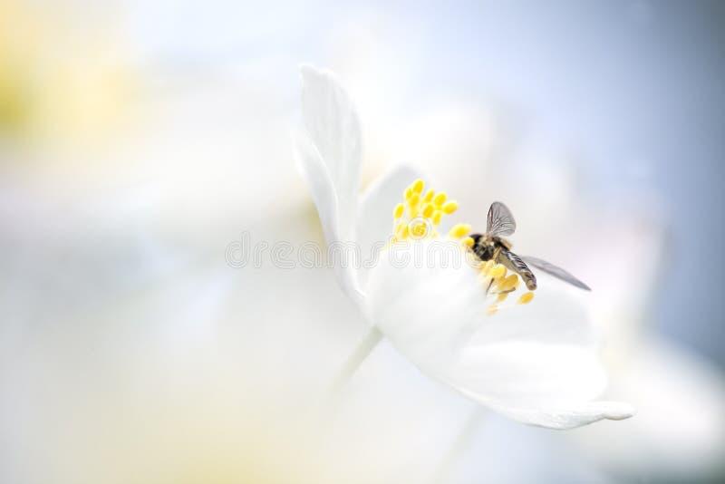 Pequeña mosca que se sienta en una anémona de madera foto de archivo libre de regalías